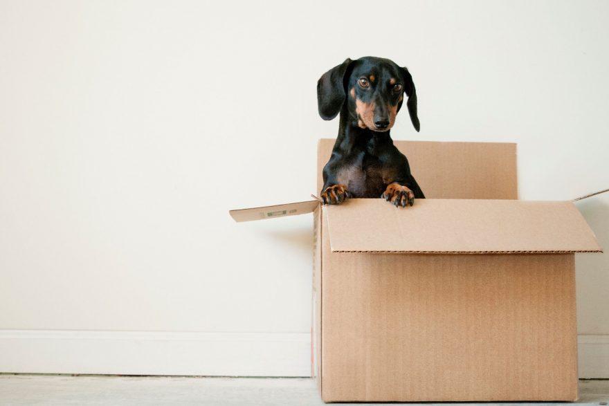 Daschund in a box letting go